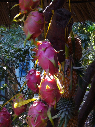 Ripening Dragon Fruit